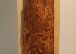 Pine Bark Beetle Trails in wood by Virginia Stearns